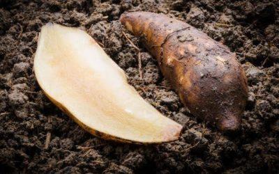Yacon Root – A Guilt-free Sugar Alternative!